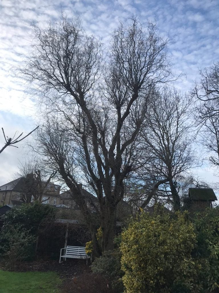 Before some tree surgery by Essex Tree Brothers